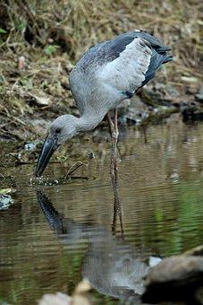 Asian, Openbill, Stork, Bird, Avian, Nature, Feather