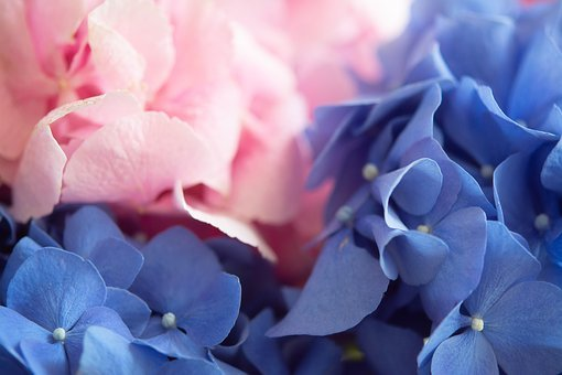 Hydrangea, Flowers, Nature, Blue, Flora, Purple