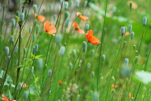 Poppy Flowers, Flower Field, Nature, Green, Spring