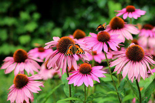 Echinacea Purperea, Sun Hat, Flowers, Summer, Garden