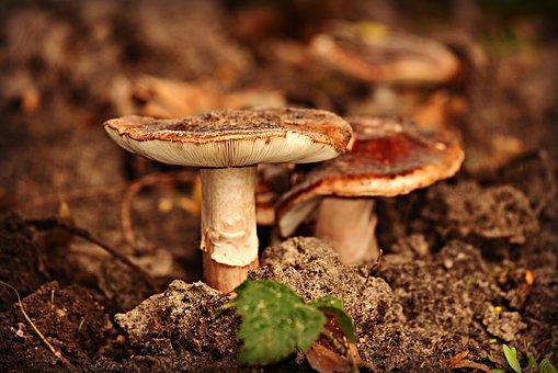 Mushroom, Stem, Cap, Fungus, Toadstool, Organic, Edible
