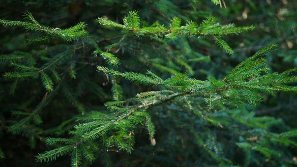 Fir, Tree, Forest, Nature, Green, Branch, Needles