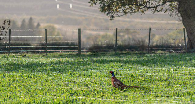 Pheasant, Meadow, Spider Webs, Grass, Green, Nature