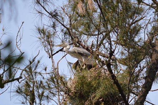 Birds, Immature, Grey, Heron, Wildlife, Nature, Durban