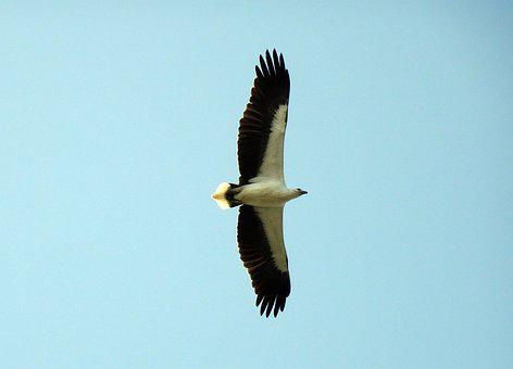 Bird, White-bellied, Sea Eagle, Haliaeetus Leucogaster