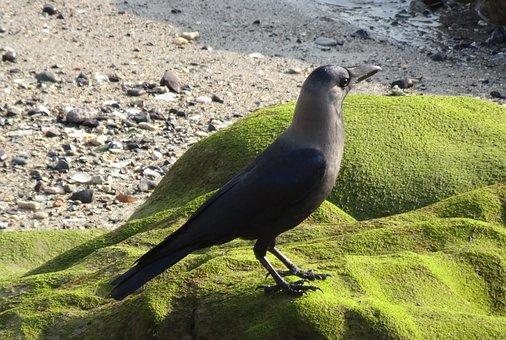 Bird, Crow, House Crow, Corvus Splendens, Indian