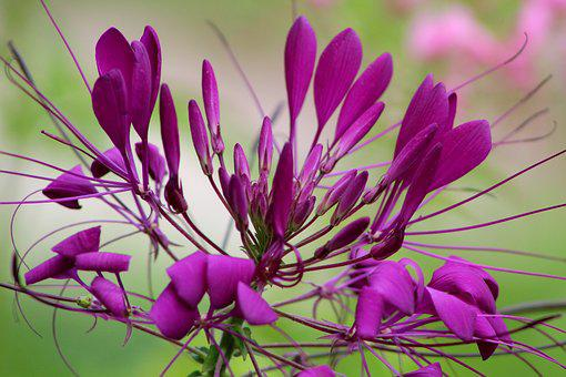 Cleome, Kattensnor, Flower, Garden, Purple, Summer