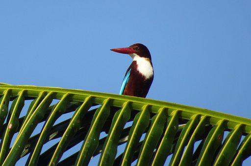 Bird, Kingfisher, White-throated Kingfisher