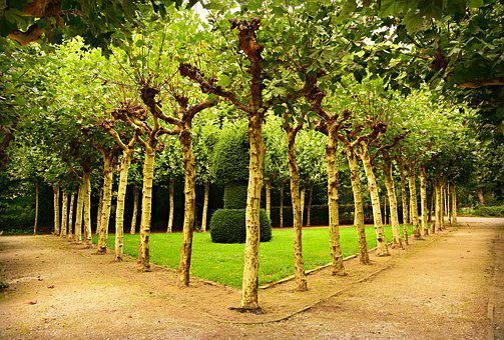 Pollard, Willow, Row Of Trees, Tree Lined, Lane