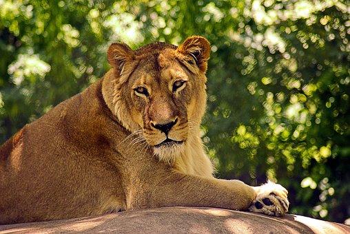 Lion At Madison Zoo, Lion, Cat, Animal, Predator