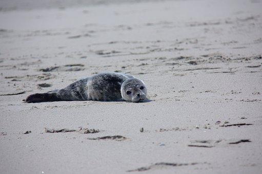 Howler, Seal, Robbe, Meeresbewohner, Mammal, Nature