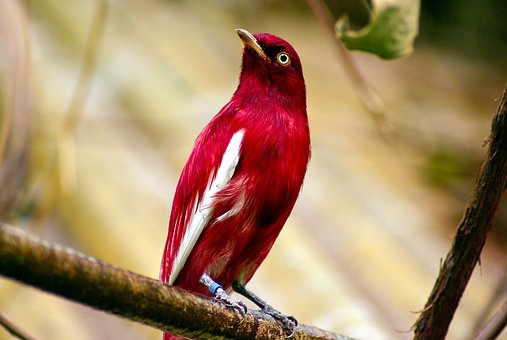 Pompadour Cotinga, Red, Pompadour, Cotinga, Bird