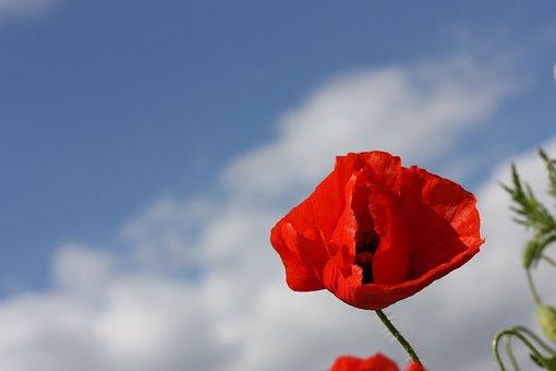 Poppy, Red, Flower, Spring, Nature, Flowers, Garden