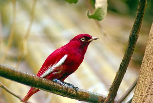 Red Pompadour Cotinga, Red, Pompadour, Cotinga, Bird