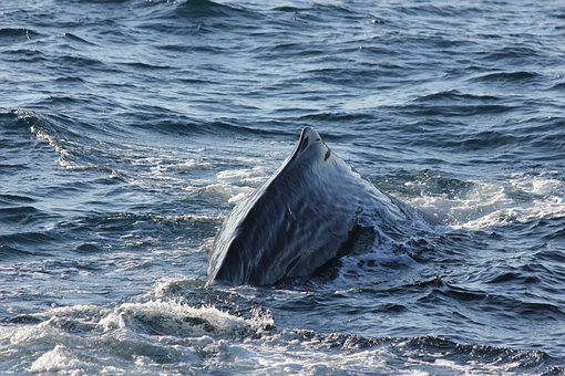 Sperm Whale, Sperm Whale Back, Diving, Sea