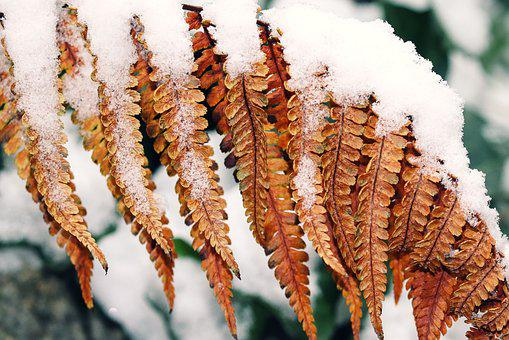 Fern, Snow, Brown, Fern Leaves, Withers, Winter, Color