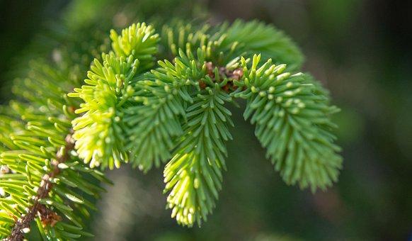 Tree, Fir, Green, Forest, Nature, Trees, Evergreen