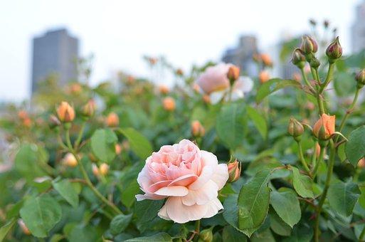 Urban Park, Rose, Park, Garden, Tourist Destination