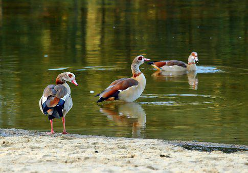 Nilgans, Bird, Goose, Nature, Water Bird, Animal
