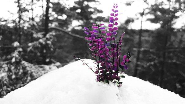 Snow, Purple, Winter, Nature, Forest, Wintry, Landscape