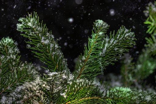 Snow, Winter, Fir Tree, Holly, Cold, Still Life