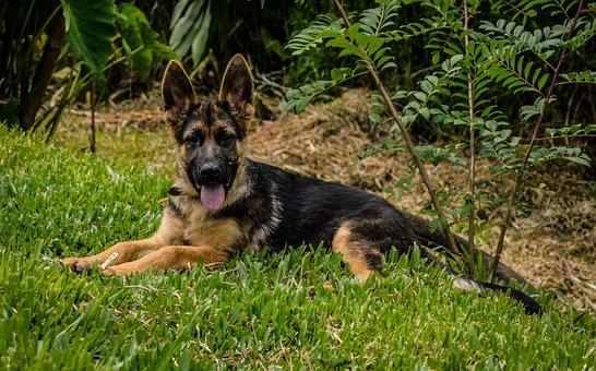 Dog, German Shepherd, Animal, Pastor, Head, Muzzle, Pet