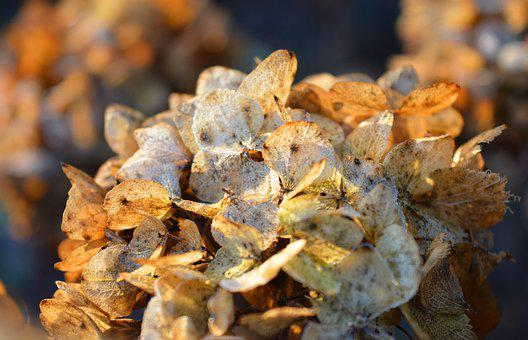 Hydrangea Flower, Faded, Autumn Mood, Close Up