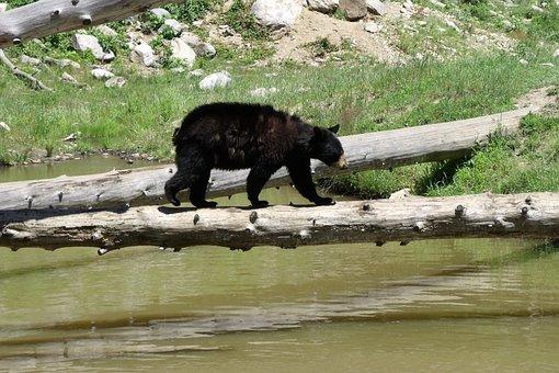 Bear Cub, River, Bear, Wild