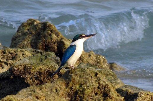 Bird, Kingfisher, Andaman Collared Kingfisher