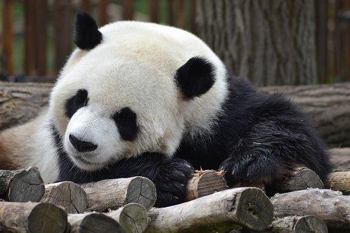 Panda, Zoo, Cute, Animal, Fur, White, Black