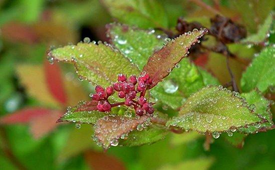 Pęcherznica, Plant, Bush, The Buds, Summer, Nature