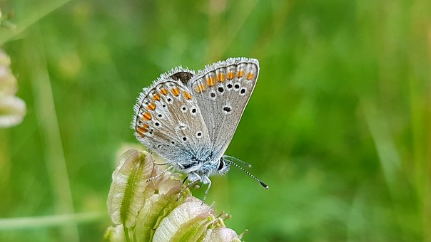 Butterfly, Common Blue, Insect, Nature, Summer, Grass