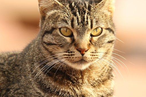 Animal, Cat, Close Up, Portrait, Eyes