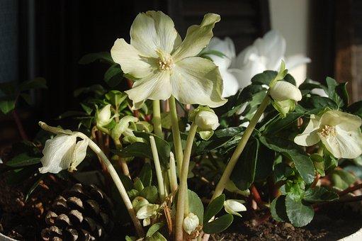 White Flowers, Christmas Rose, Hellebore, Flower