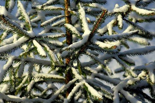 Christmas Tree, Iglak, Snow, Twigs, Spruce, Nature