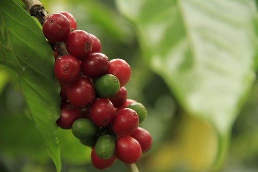 Coffee, Caffeine, Drink, Aroma, Plantation, Fresh