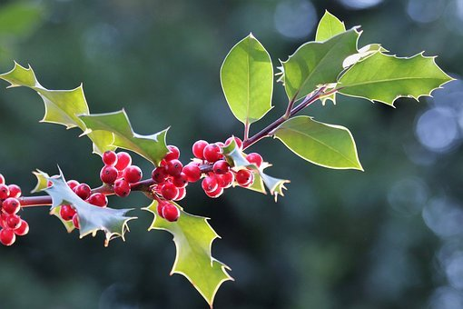 Llex Aquifolium, Common Holly, Christmas Holly