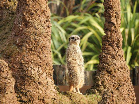 Meerkat, Animal, Cute, Nature, Zoo, Wildlife
