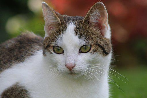 Cats, Cat, White, Fur, Eyes, Pet, Cute, Grey, Whiskers