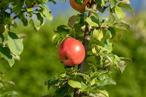 Apple, Fruit, Fresh, Healthy, Delicious, Vitamins