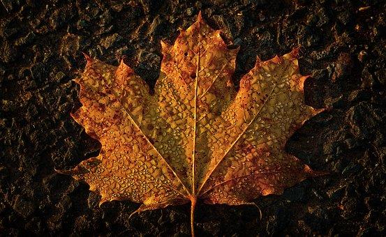 Maple Leaf, Autumn, Morgentau, Dewdrop, Wet