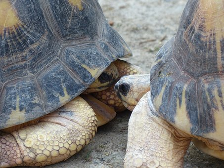 Turtle, Turtles, Kiss, Couple, Meeting, Face-to-face