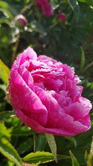 Flower, Peony, Pink, Flower Garden, Morgentau