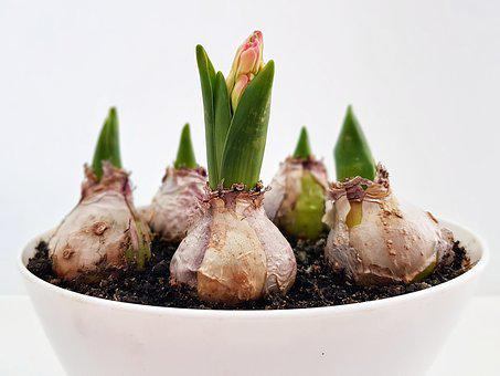 Hyacinth, Flower, Garden, Plant, Nature, Bloom, Petals