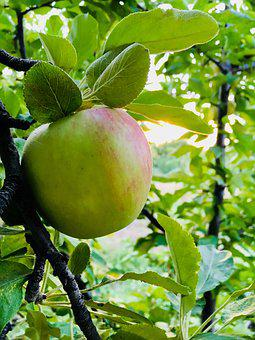 Apple, Garden, Fruit, Food, Fresh, Green, Nature