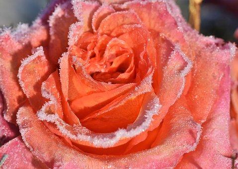 Rose, Rose Bloom, Blossom, Bloom, Frost, Ice