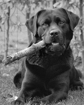 Dog, Labrador, Retriever, Portrait, Happy, Funny