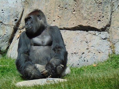 Gorilla, Zoo, Ape, Animals, Primate