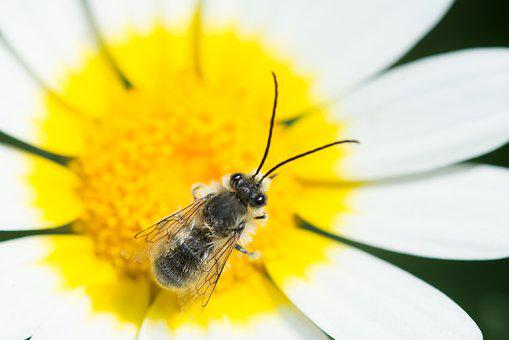 Bee, Flower, Yellow, White, Macro, Insect, Bloom