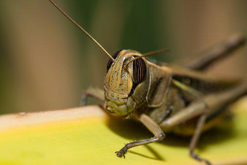 Grasshopper, Locust, Insect, Nature, Animal, Green, Bug